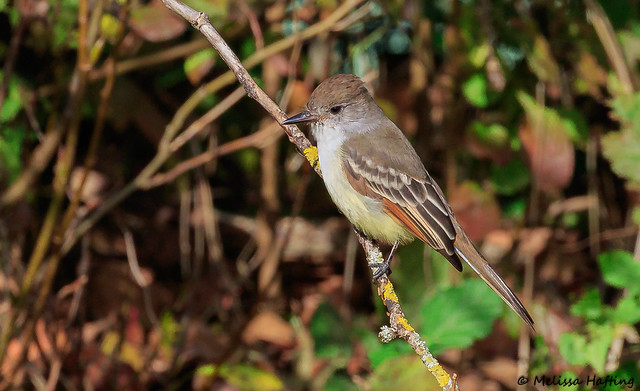 Ash-throated Flycatcher (Myiarchus cinerascens) - Delta, BC