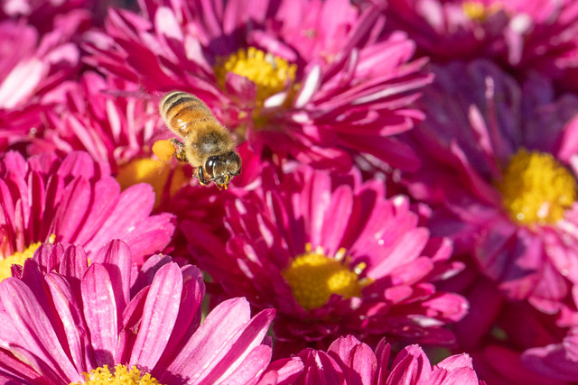 Apis mellifera, Honey Bee, with a Pollen Load