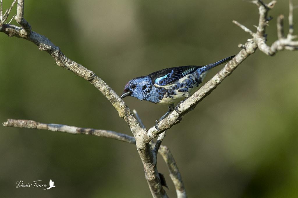 Calliste diable-enrhumé - Tangara mexicana - Turquoise Tanager