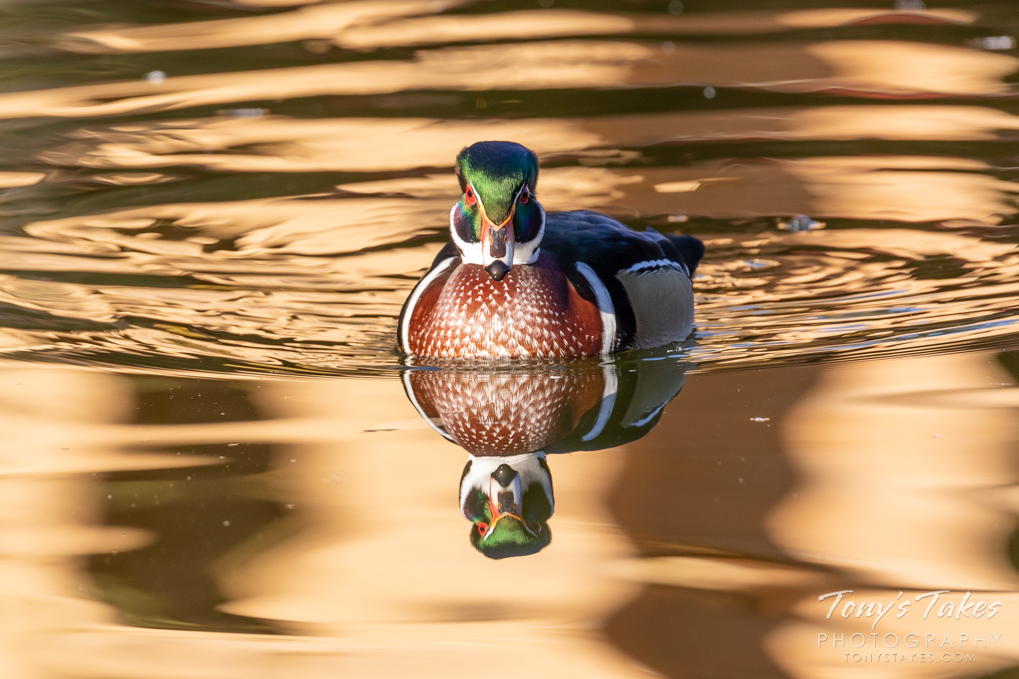 A wood duck drake moves across a pond with its reflection and the reflection of fall colors on the water's surface. (© Tony's Takes)