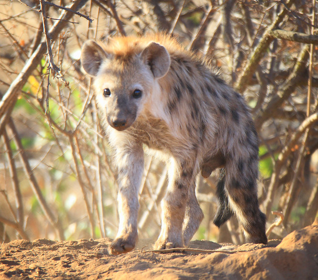 Hyena pup in South Africa