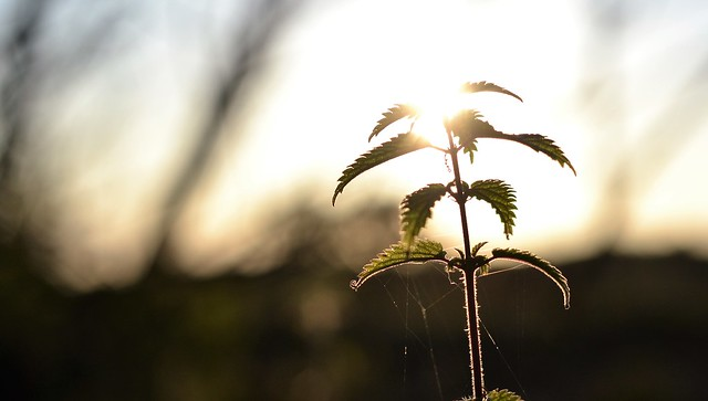 a nettle in late afternoon sunshine