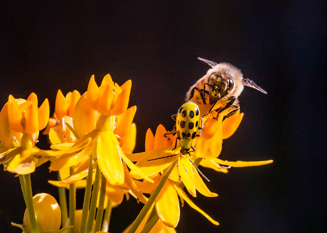 Bee with Pollen on Face and Cucumber Beetle