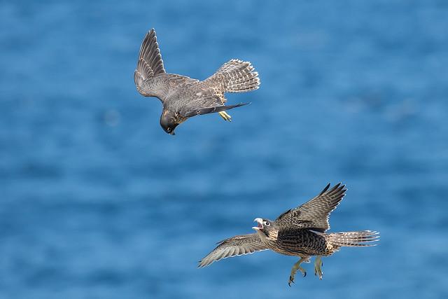 Peregrine Falcon 199 2397