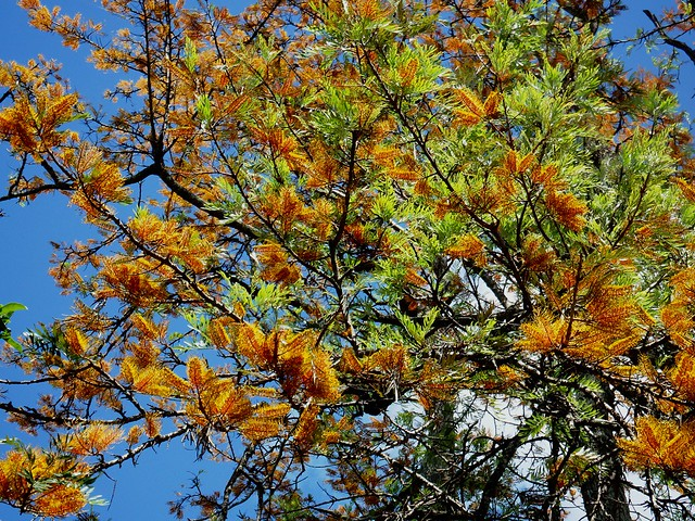 Silky Oak Tree in bloom.