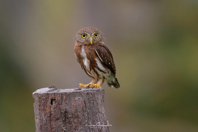 Central-american-pygmy-owl_NGR6191