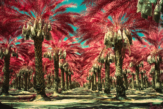 date palms (color infrared xpro). mecca, ca. 2019.