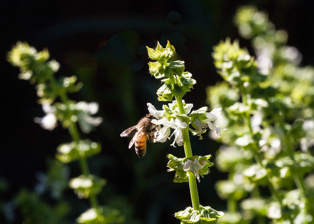 Bee on Basil