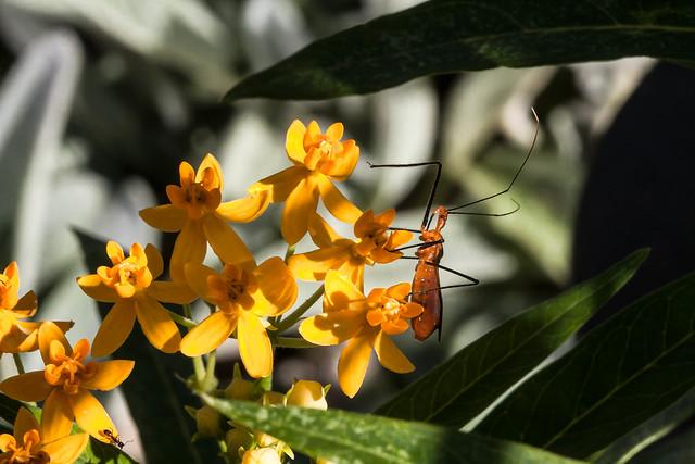 Milkweed Assassin Bug and Ant