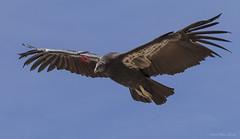 C0810 California Condor 0668