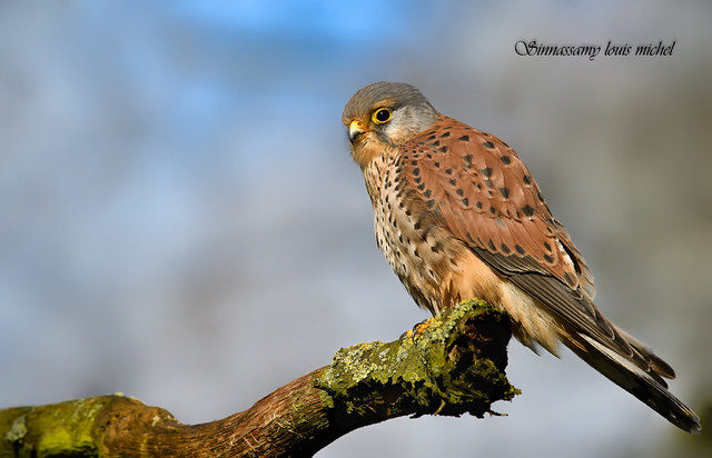 Common kestrel / Faucon crécerelle