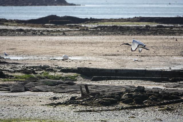 ibis sacré à Carnac