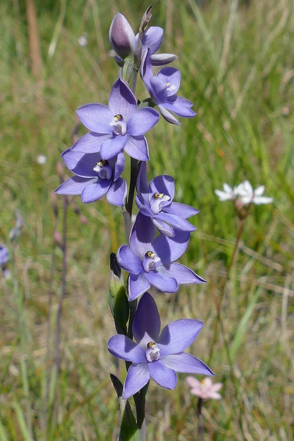 Thelymitra ixioides - Dotted Sun-orchid