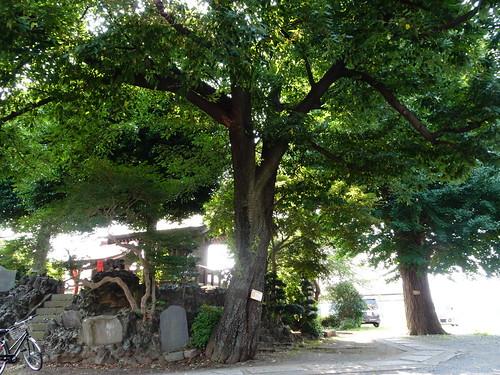 御嶽神社・志木市の指定保存樹木