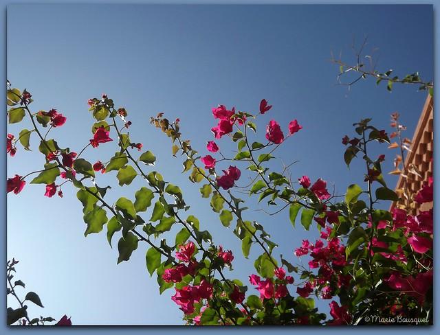 Fleurs au-dessus d'une ruelle de Collioure