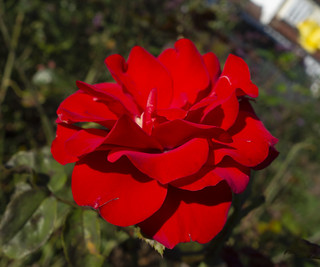 Red Autumn Rose, Beverley Park