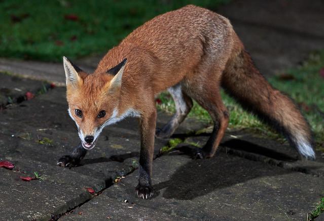 Beautiful wild fox