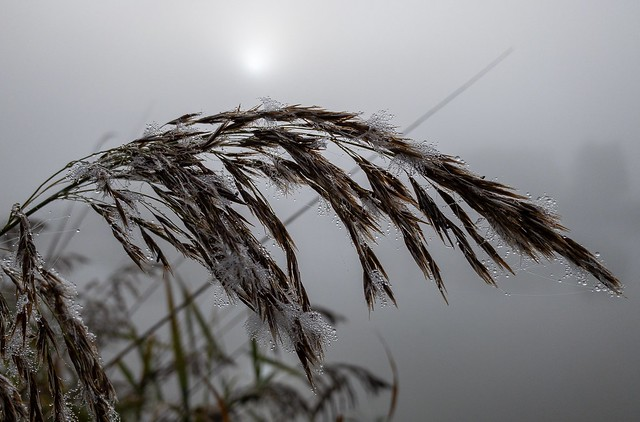 Reeds in the fog