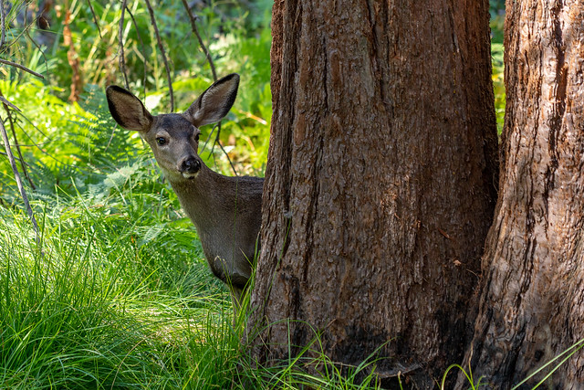 Mule Deer Looking out from a Sequoia Tree