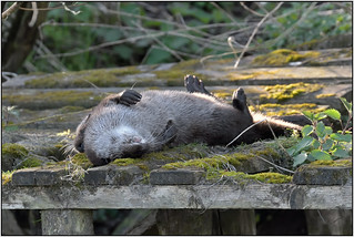 Otter (image 2 of 4)