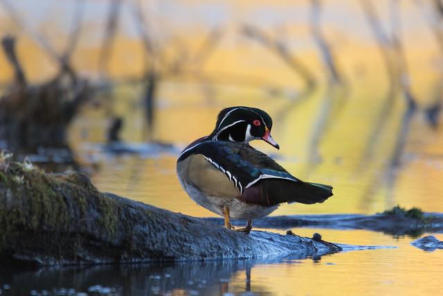 Canard Branchu (Mâle)  -  Wood Duck