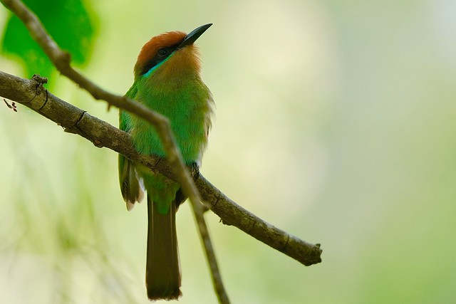 the less known Böhm's Bee-eater