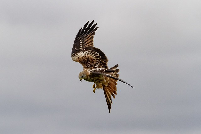 Galloway forest park. Scotland. Red kite near a feeding station