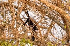 Black-and-gold Howler Monkey (Alouatta caraya), male