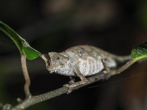 Brown leaf chameleon - Brookesia superciliaris