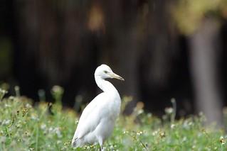 黃頭鷺(Cattie Egret)