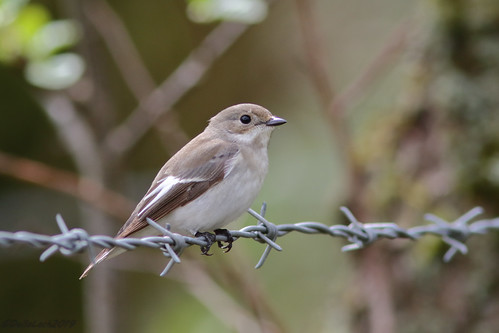 Female Pied Flycather