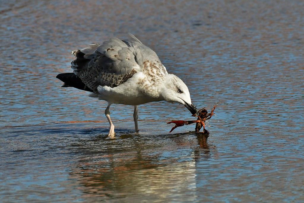 Goéland leucophée juvénile - Larus michahellis - Yellow-legged gull
