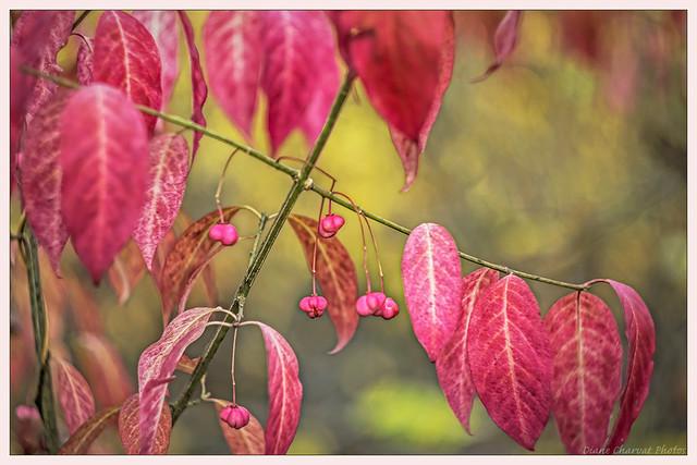 Spindle Tree (euonymus phellomanus)