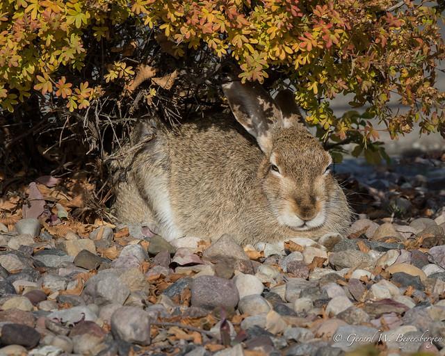 White-tailed Prairie Hare