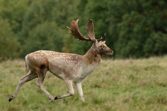 Fallow-Deer-9969