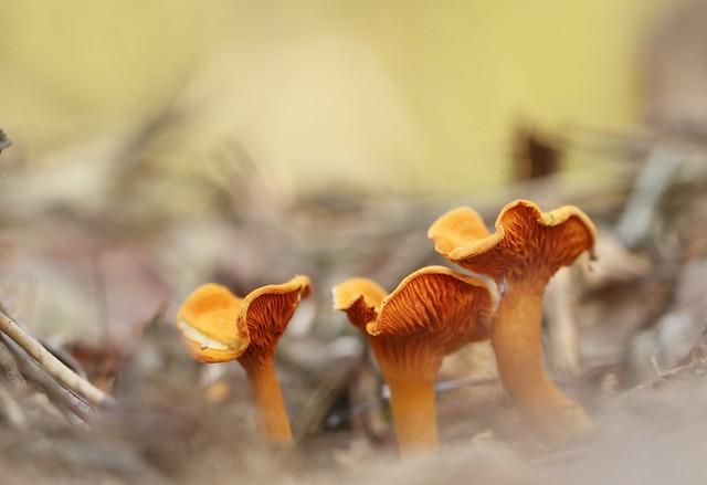 Hygrophoropsis aurantiaca 6702