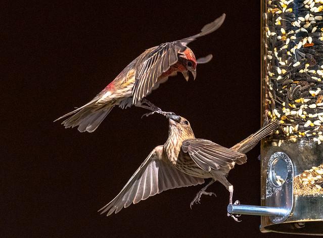 House Finch, Phoenix, AZ