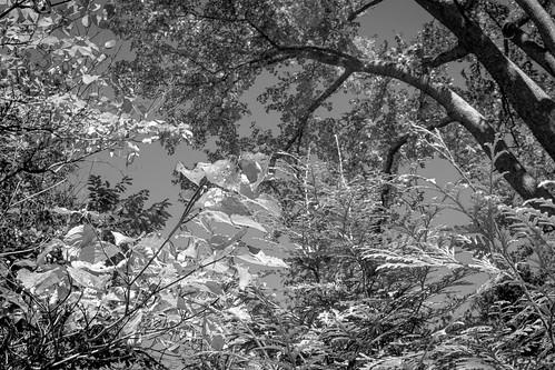 lookingup dogwood conifers oak yard asheville northcarolina nikond3300 fisheyetakumar17mmf4 blackandwhite monochrome monochromatic digital landscape