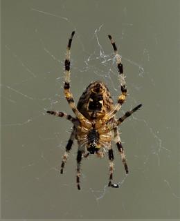 spider bc canada