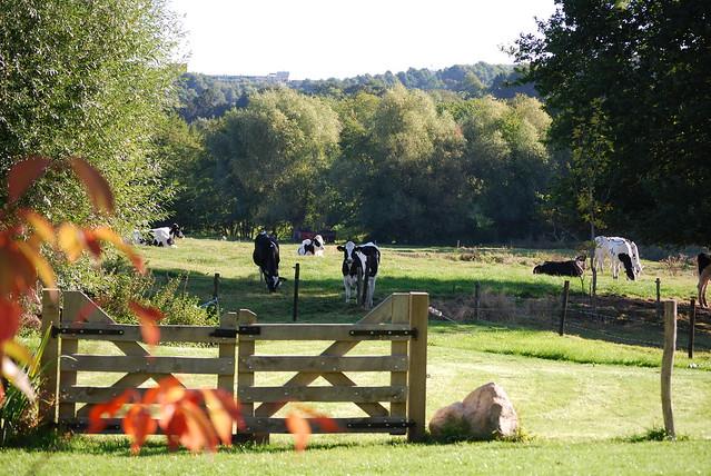 Boerderij koeien in de wei
