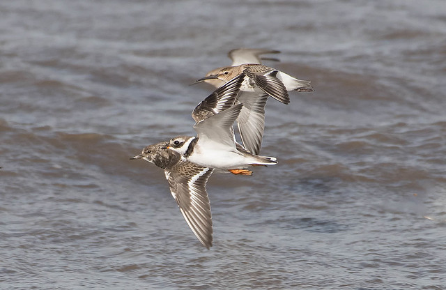 Dunlin, Turnstone, And Ringed Plover.