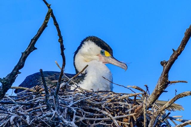 Cormorant Fledging