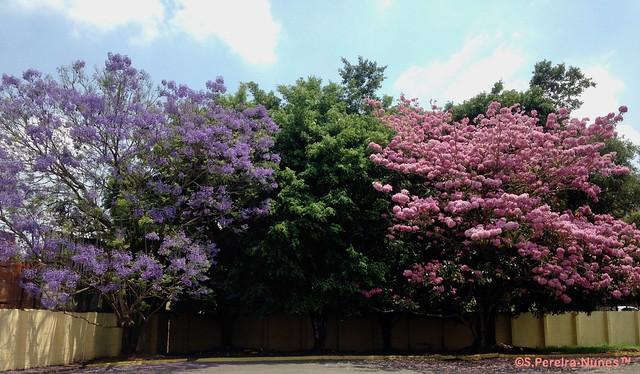 Jacarandá & a Pink Trumpet Tree together in Cotia, SP, Brazil