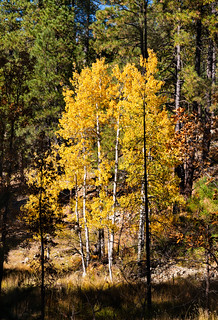 aspen_trees_fall_walker_rd-20191022-150 | by Dagny Gromer