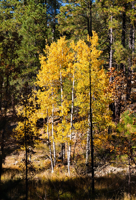 aspen_trees_fall_walker_rd-20191022-150