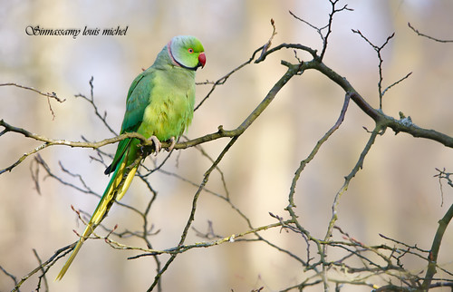 ♂ Ringed-necked parakeet /♂ Perruche à colier