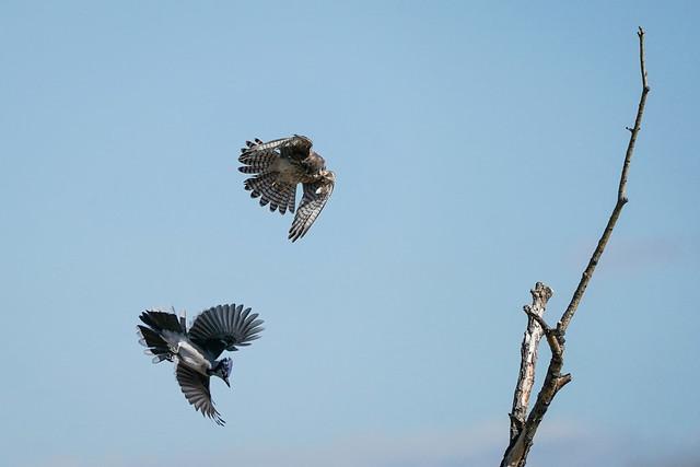 Kestrel vs. Blue Jay