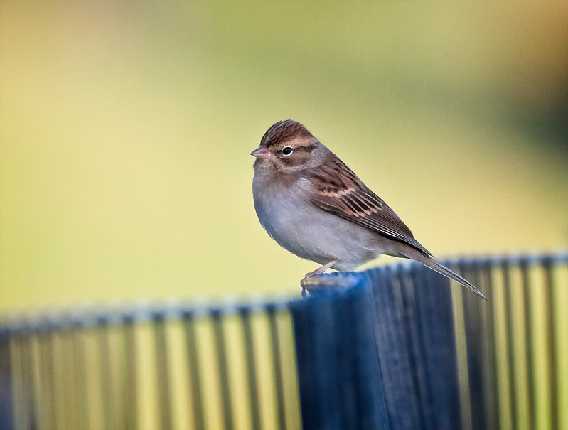 Chipping sparrow in Central Park