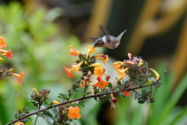 2/2 Colibri Flammule * Volcano Hummingbird *Costa Rica
