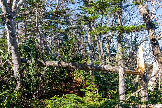 台風19号の影響か・・倒木が結構あります